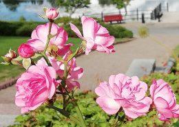 Vaaleanpunaisia ruusuja kuvassa. Taustalla lampi.